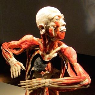 A model showing inner workings of the human body, part of the Bodies Revealed exhibition