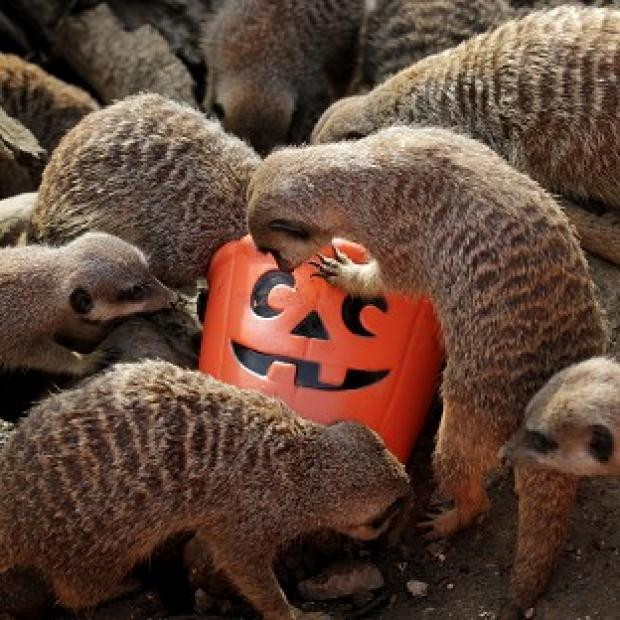 Meerkats at Port Lympne Wild Animal Park investigate pumpkin-style feeding buckets