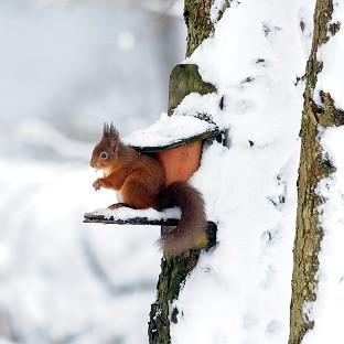 A red squirrel in Kielder Forest, Northumberland, following fresh snowfall