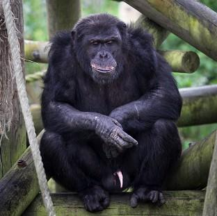 Chimpanzees are motivated to solve a puzzle for its own sake, without needing a food reward, research suggests