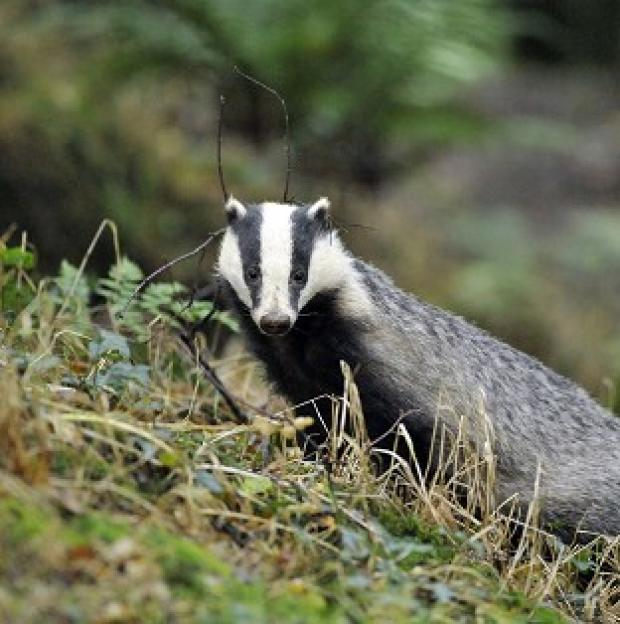 Banbury Cake: The revelation comes after efforts to cull badgers came in for criticism