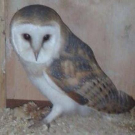 A barn owl similar to the one found on the A40