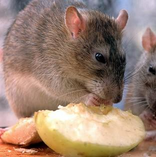 Rats could grow to be bigger than sheep as they evolve to fill vacant ecological niches, a geologist has claimed