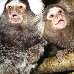 Marmosets have been used to test ways t