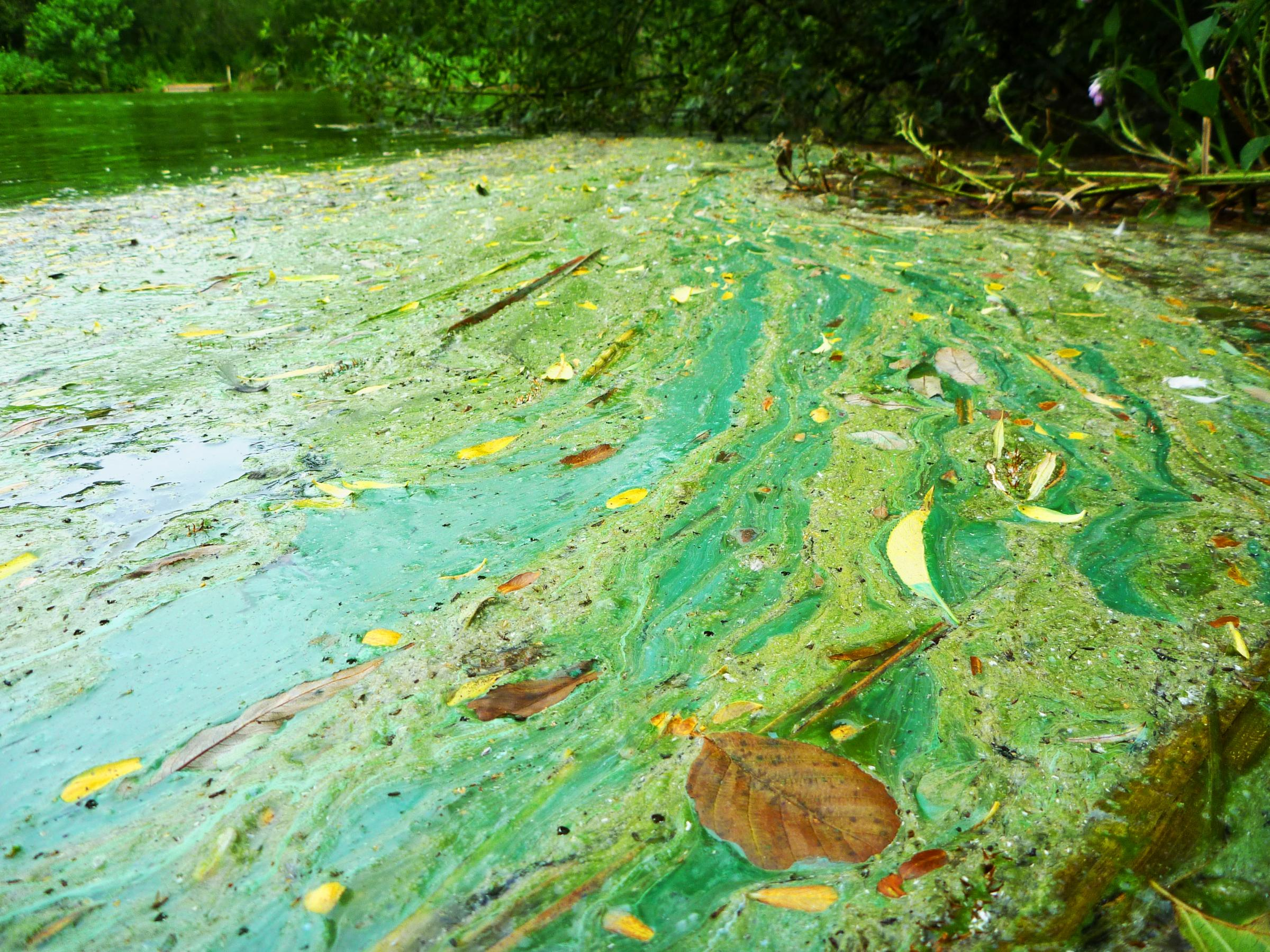 An extreme example of the algae. Picture supplied by the Environment Agency