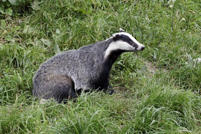 CULL: Oxfordshire missed off latest culling licence list