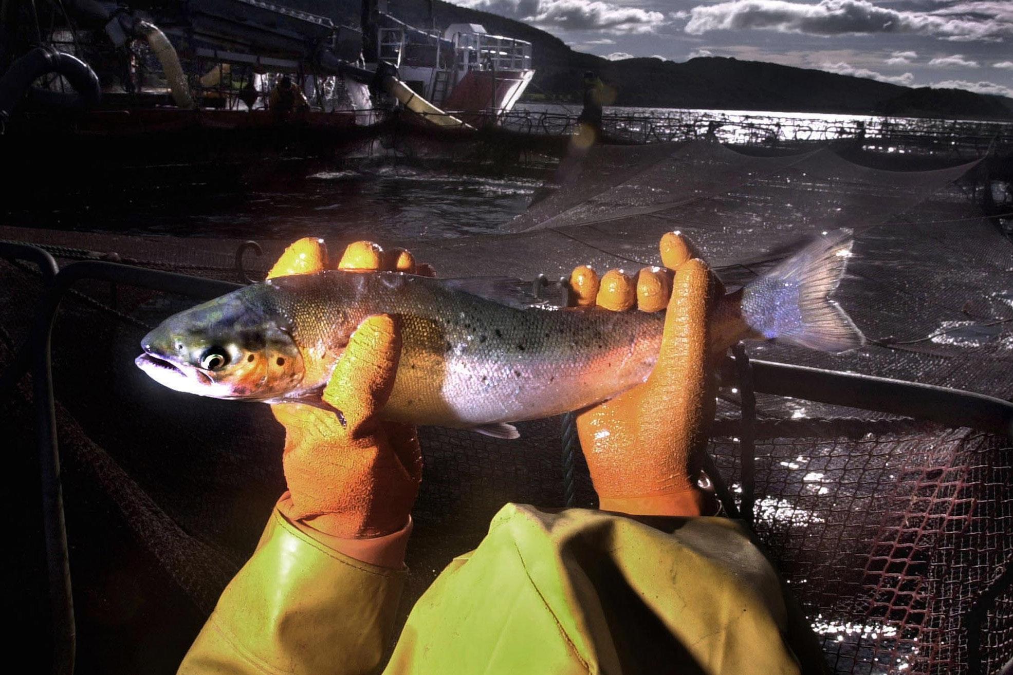 Salmon farm medicine having significant environmental impact, study finds