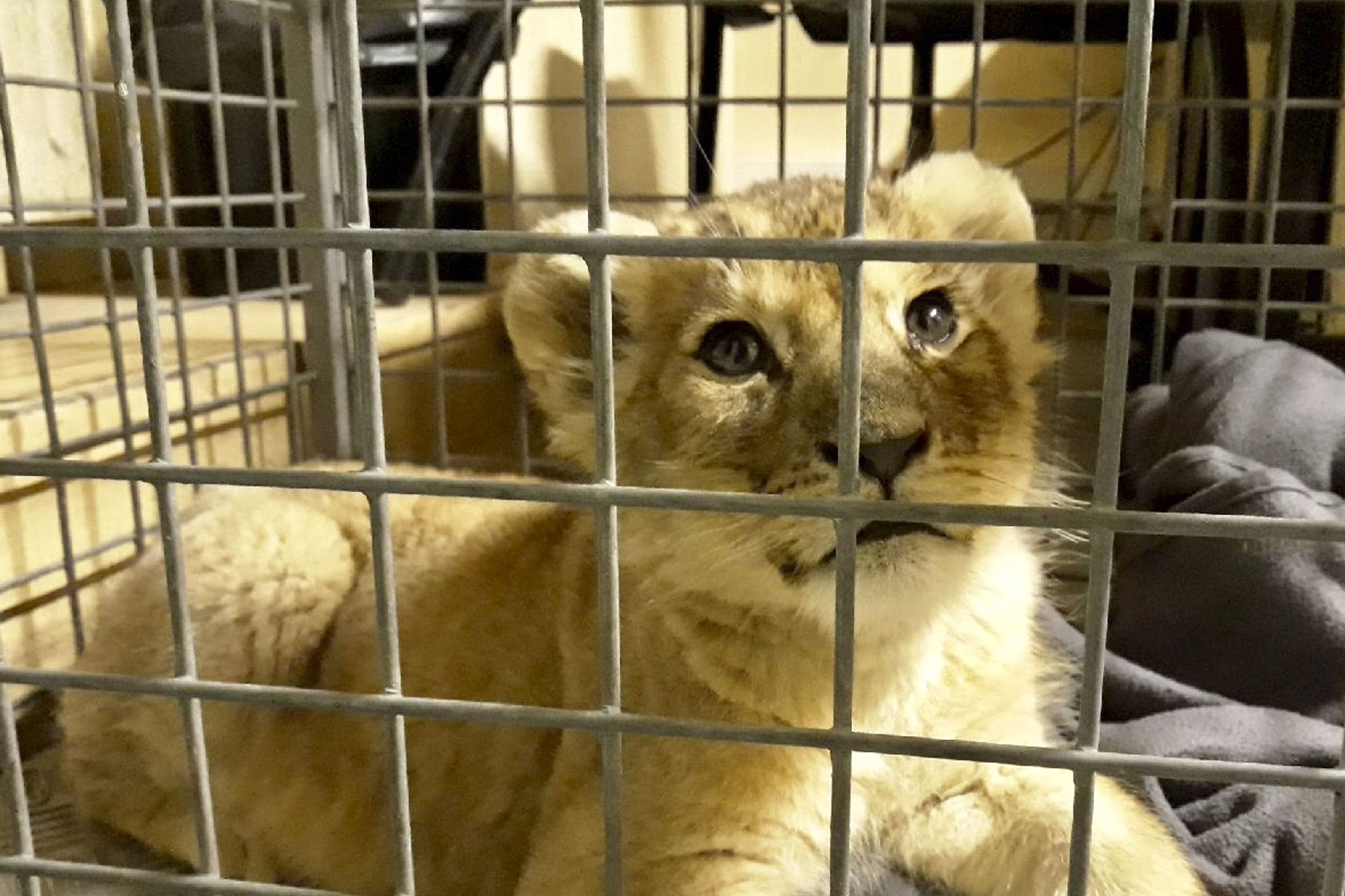 Lion cub found in Lamborghini on France's Champs-Elysees