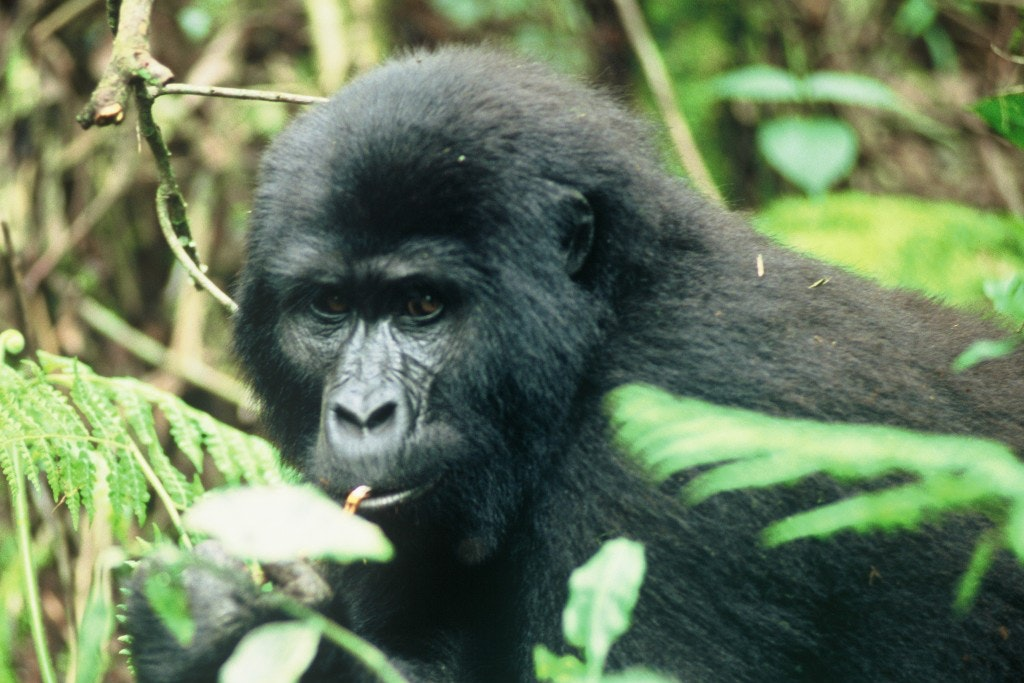 Conservation action sees fortunes improve for mountain gorilla and fin whale