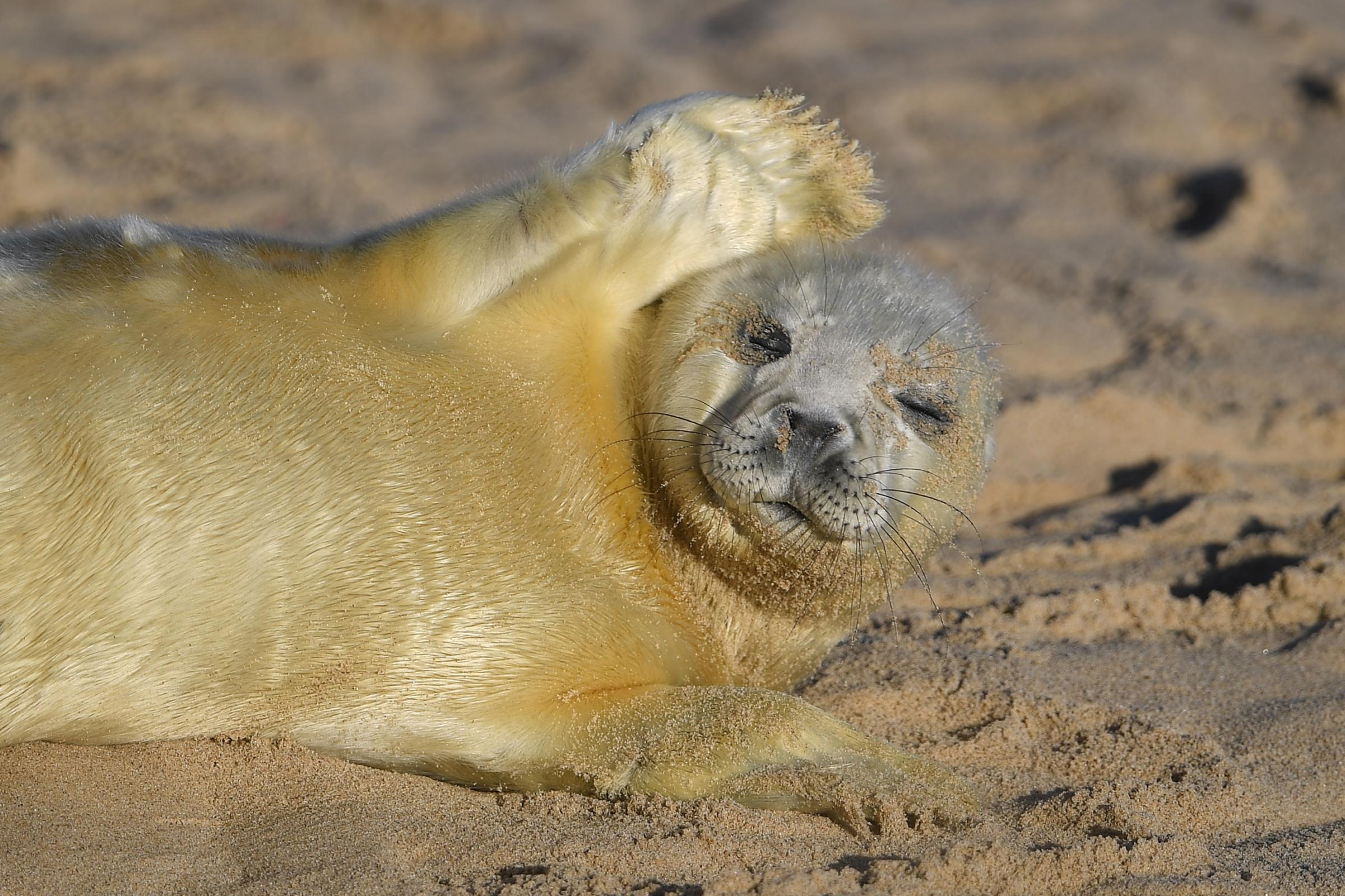 Pupping season gets seal of approval in Norfolk