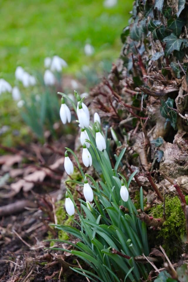 Snowdrops bloom by Christine Cook